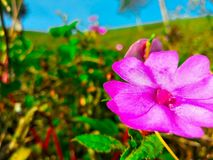 Pink flower in the garden. A beautyfull colour of the fresh flower in the morning Stock Images