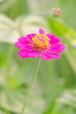 Pink flower in the garden Royalty Free Stock Photography