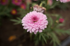 Pink Flower. In the garden on macro focus Royalty Free Stock Photos