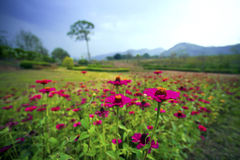 Pink flower. In garden with mountain background Royalty Free Stock Images