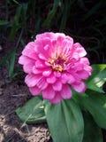 Pink flower. Garden nature zinnia spring springtime color pretty stock photography
