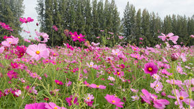 Pink flower garden. With pine tree Stock Photos