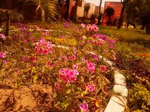 Pink flowe. Pink  flower  on the garden Royalty Free Stock Image