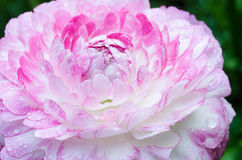 Pink flower in the garden. Pink single flower in the garden Royalty Free Stock Photo