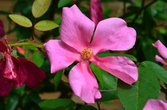 Wild Rose Pink flower in Garden. Pink yellow flower in garden. Rosa virginiana, commonly known as the Virginia rose, common wild rose or prairie rose, is a woody stock photos