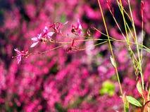 Pink flower - Gaura lindheimeri Royalty Free Stock Photos