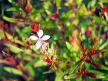 Pink flower - Gaura lindheimeri Stock Photos