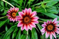 Pink flower, Gazania Stock Photos
