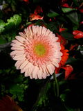 Pink flower. Pink Gerbera blooming in a park vase Royalty Free Stock Photography