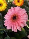 Pink flower. Pink Gerbera blooming in a park vase Stock Photos