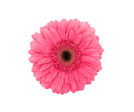 Pink flower Gerbera isolated on a white background. Top view Stock Image