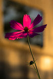 Pink flower in golden hour Royalty Free Stock Photos