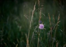 Pink flower in the grass. Pink flower surrounded by tall grass stock image