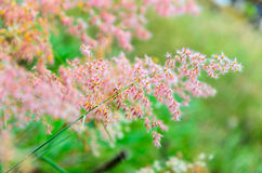 Pink flower of grass Royalty Free Stock Image