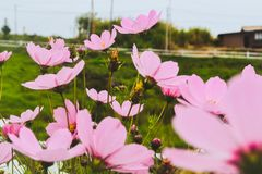 Pink flower with grass field as background. stock photo