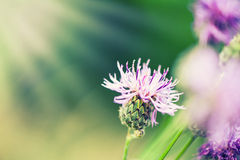 Pink flower of greater burdock Royalty Free Stock Photo