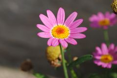 Pink flower from Greece stock photography