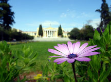 Pink flower and greek classical palace. Pink flower close up and greek palace on the background Stock Image