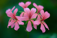Pink flower on the green background.  Stock Image