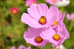 Pink Flower and Green background Stock Photography