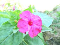 Pink flower on a green background. Royalty Free Stock Photo