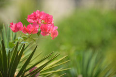 Pink flower & green background Royalty Free Stock Photography