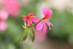 Pink flower on green background. Geranium. Summer day royalty free stock image
