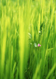 Pink flower in green grass Royalty Free Stock Image