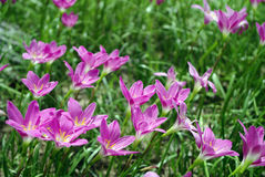 Pink flower on green grass Stock Image