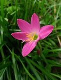 Pink flower with green leaf Royalty Free Stock Image
