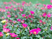 Pink flower and green leaf in the garden morning. Royalty Free Stock Photos