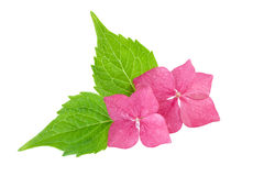 Pink flower with green leaf of hydrangea flowers Stock Photography