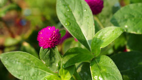 The pink flower on the green leaf. The pink power is blooming on the green life Royalty Free Stock Image