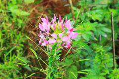 Pink Flower with Green Leaf. In Thailand Royalty Free Stock Photography