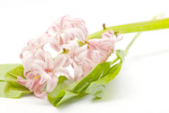 Pink flower with green leafs Royalty Free Stock Photo