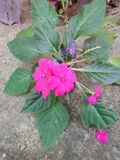 The pink  flower. The pink. 35,35,296,305.668030, pink, flower, green, leaves, close stock photos