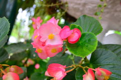 Pink flower. And green leaves in the garden Royalty Free Stock Photos