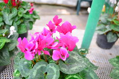 Pink flower. And green leaves in the garden Royalty Free Stock Photography