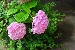 Pink flower. And green leaves in the garden Royalty Free Stock Images