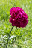 Pink flower with green leaves and stalk on grass royalty free stock images