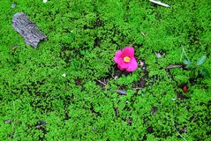 Pink flower green moss Royalty Free Stock Photography