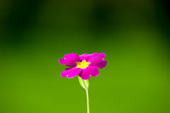 Pink flower on green nature background Royalty Free Stock Photography