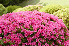 Pink flower, green plant and tree in Japan public park. Pink flower, green plant and tree in the Japan public park Royalty Free Stock Photo