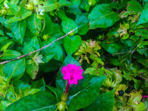 Pink flower and green vegetation. In the country side of Corfu in Greece Royalty Free Stock Image
