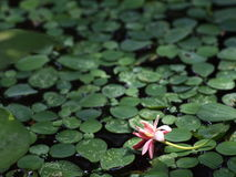 Pink flower on green water fern Stock Photos
