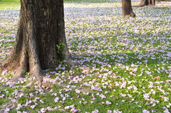 Pink flower on the ground. Chom-poo-pun-tip flower on the ground in autumn season of thailand Stock Images