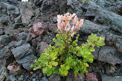 Pink flower growing in the lava Stock Photos