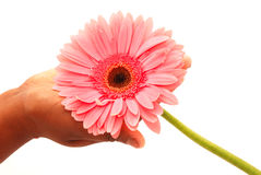 Pink flower in hand Stock Image