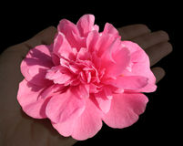 Pink flower on a hand Royalty Free Stock Images