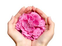 Pink flower in hands of a young caucasian woman. Isolated on white background. Concept of skin care, massage or manicure service, female health and beauty Royalty Free Stock Photography